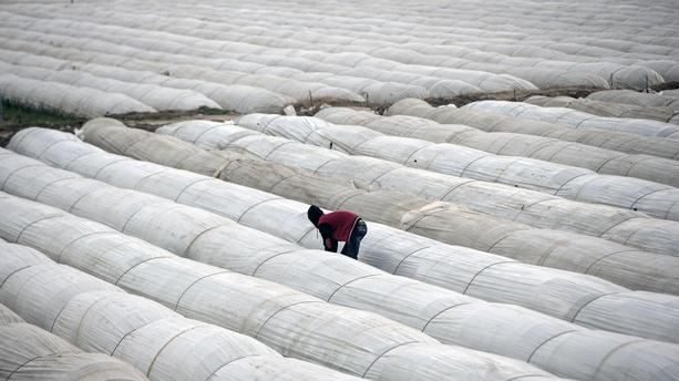Les migrants, une main d'oeuvre bon marché exploité dans les champs de fraise
