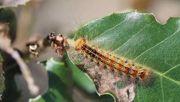 La chenille, est une espèce de papiloon qui fait partie du cortège entomologique naturel de la Maâmoura