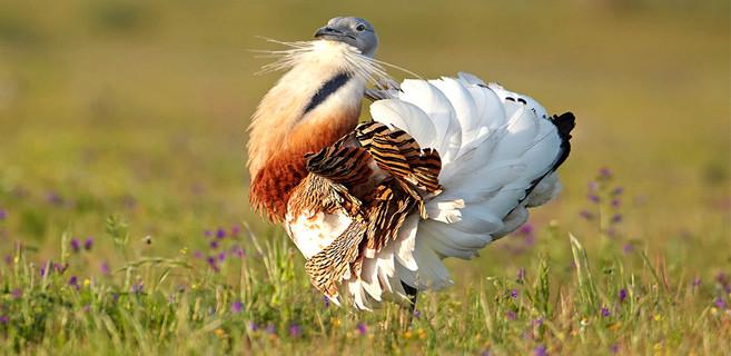 Les mâles de la grande outarde font partie des oiseaux volants les plus lourds qui existent avec un poids qui peut atteindre les 18 kg