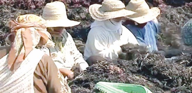 Doukkala : Agression des contrôleurs du ramassage d'algues marines