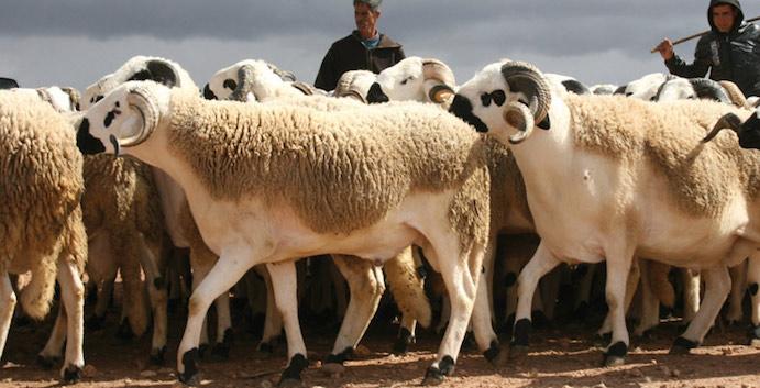 Aïd Al-Adha : Plus de 7,2 millions de têtes d'ovins et de caprins identifiés