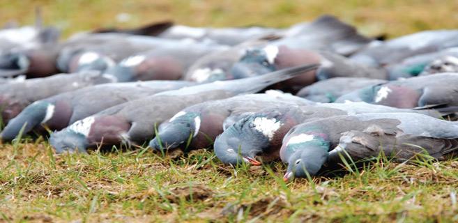 Doukkala / Chasse aux pigeons : Le respect du quota souvent bafoué !