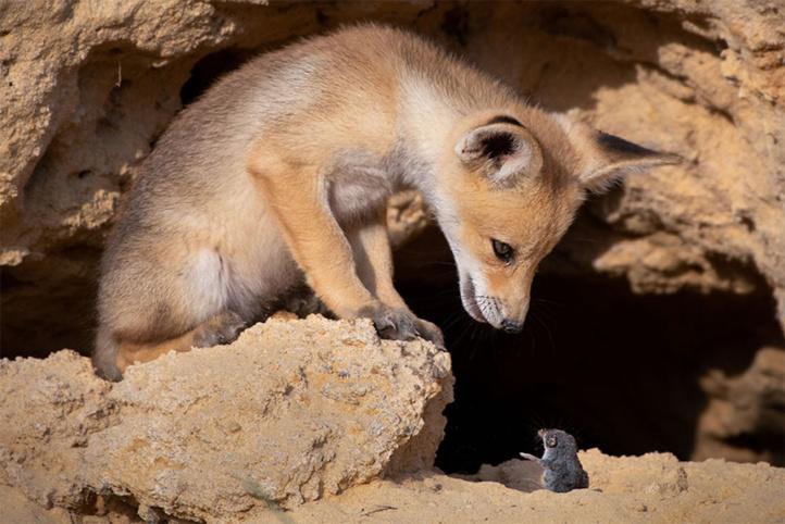 Maître renard sur un rocher perché