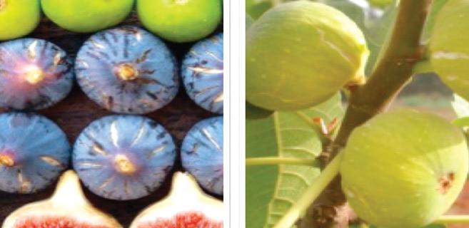 Doukkala : Le figuier, produit de terroir à valoriser
