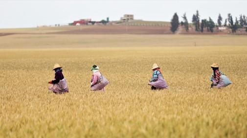 EL Hajeb : La production céréalière enregistre une baisse de 50%