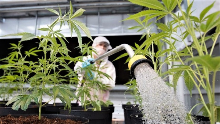 Espagne : Plaidoyer en faveur de la légalisation du cannabis