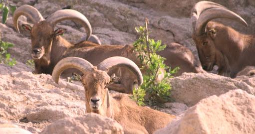 Mouflon à manchettes: une espèce qui revient de loin