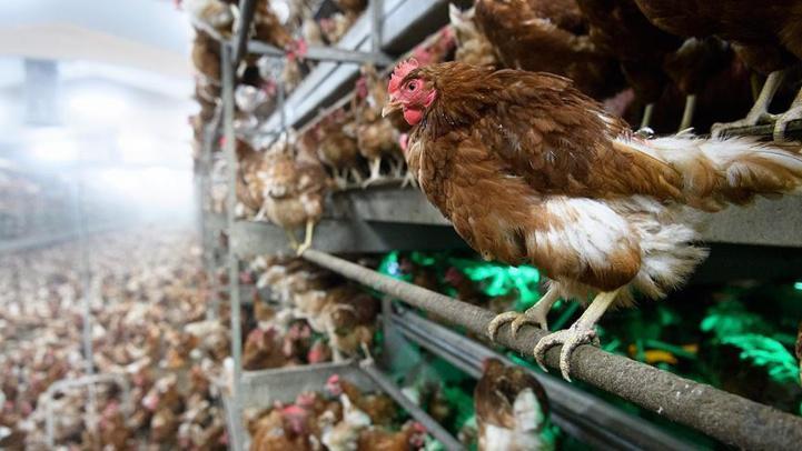 France/grippe aviaire: Pas de risque de transmission à l'homme