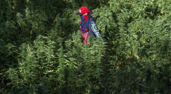 Cannabis : Après le vote à l'ONU, le Maroc prendra-t-il le chemin de la légalisation ?