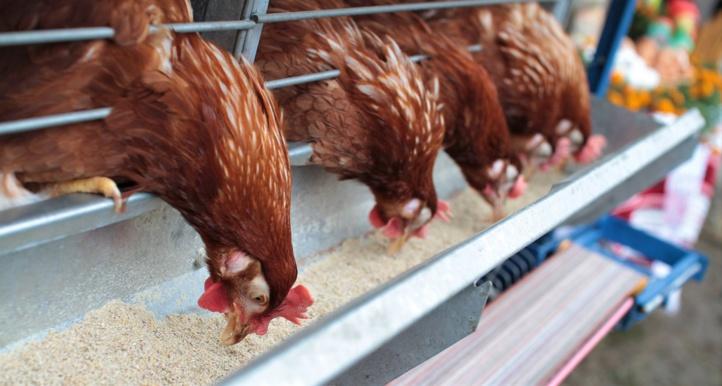 Aviculture : Secteur en crise et hausse « non justifiée » des prix des aliments