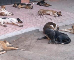 Parvovirus canin au Maroc : L'autre pandémie qui menace la vie du meilleur ami de l'Homme