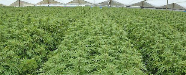 Cannabis : La Tunisie emboîte le pas au Maroc