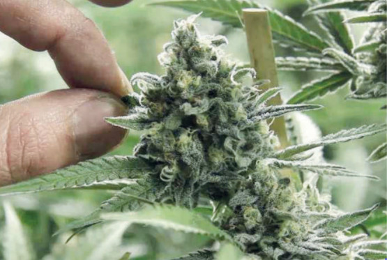 La législation du cannabis au Maroc : Bonne ou mauvaise nouvelle pour l'environnement ?