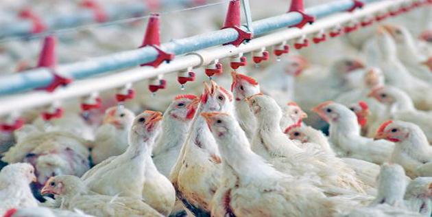 Le poulet de chair consommé en Algérie, bourré de résidus d'antibiotiques