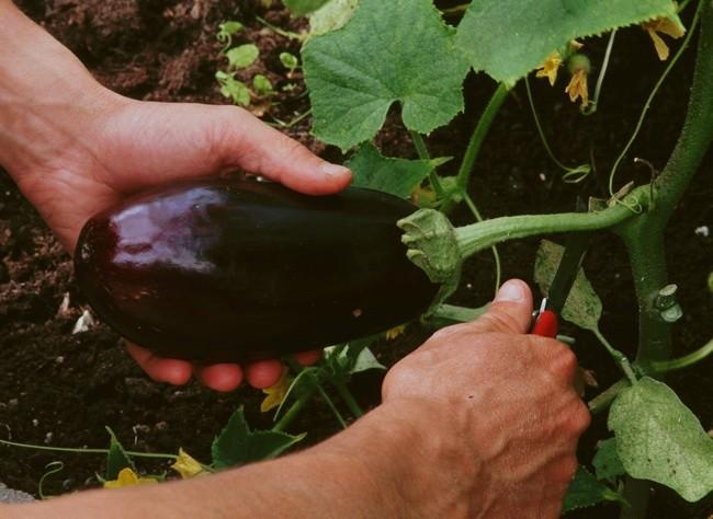 Exportations aux États-Unis : l'aubergine marocaine pose problème