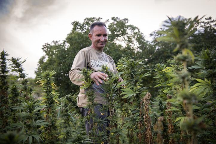 Cannabis : Vers une amnistie des agriculteurs poursuivis par la Justice