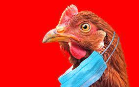 Grippe aviaire : une autre saison de la série « Pandémie mondiale » ?