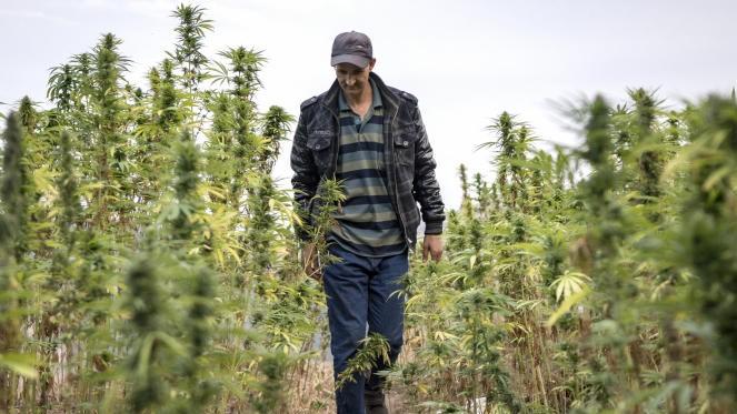 Usage licite du cannabis : le projet de loi adopté, en deuxième lecture, par la Commission de l'Intérieur