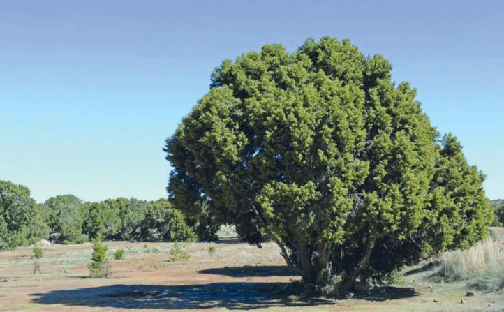 Genévrier thurifère : Ce doyen des forêts confronté à de multiples dangers