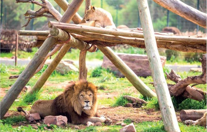 Journée mondiale du lion : Le destin incertain de l'emblématique lion de l'Atlas