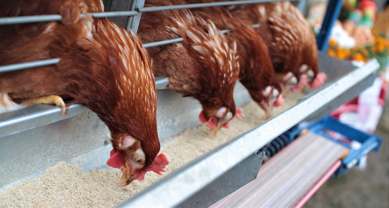 Le secteur avicole fonctionne à merveille