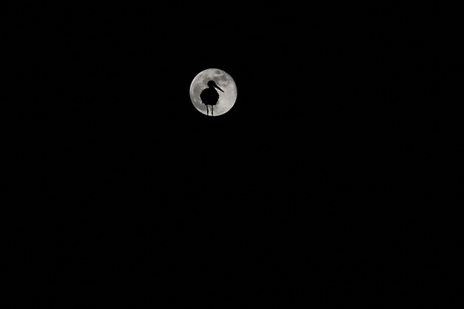 La cigogne et la lune dans un ciel nocturne