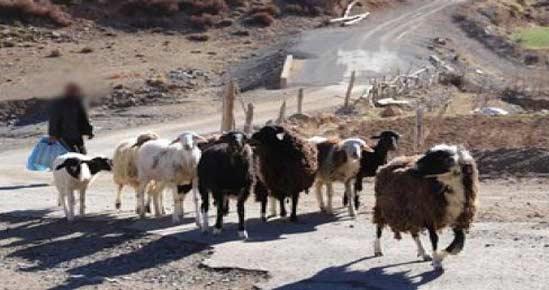 Surpâturage : Les Soussis et les nomades face à un ennemi commun