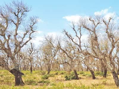 Rabat-Salé-Kénitra : La Maâmora sous la menace d'un insecte ravageur