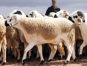 Aïd al-Adha : Plus de 4,5 millions de têtes d'ovins et caprins