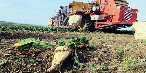 Agriculture-Betterave à sucre : Bon démarrage de la campagne d'arrachage