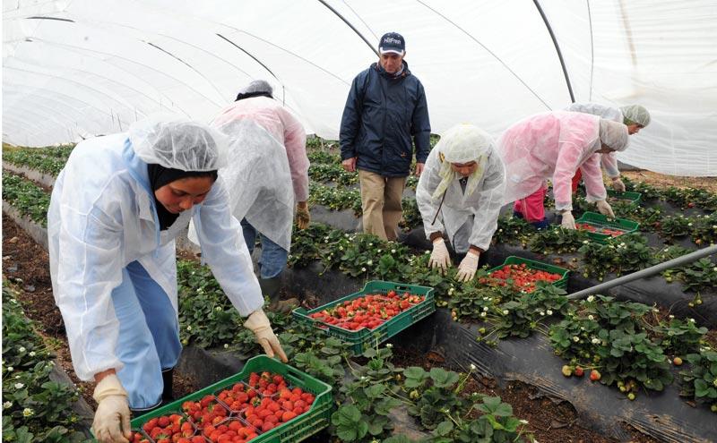 Agriculture: Les producteurs des fruits rouges appellent à la rescousse