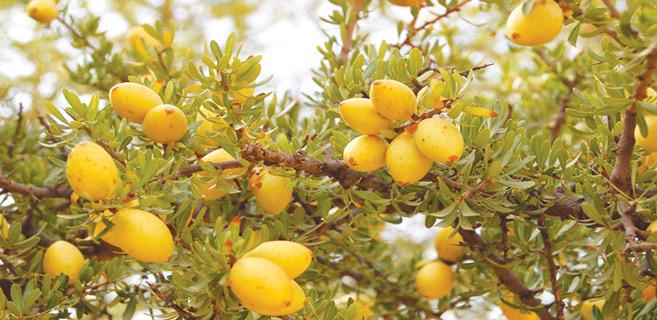 Guelmim / INDH : L'huile d'argan, levier de développement