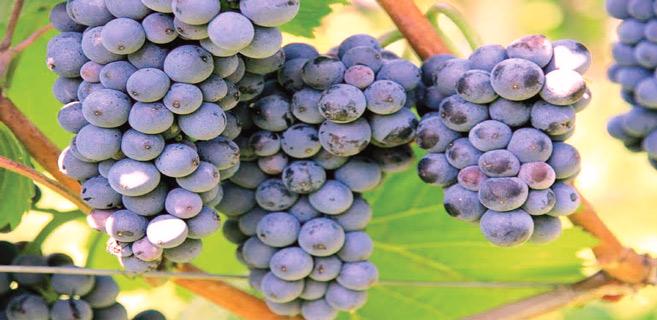 El Jadida : Des vertus du raisin des Doukkala !