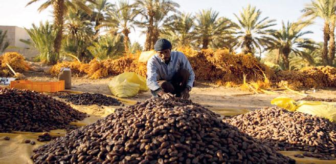 Drâa-Tafilalet : Le palmier dattier, une filière aux perspectives prometteuses