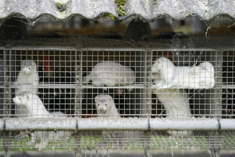Danemark : une mutation du Covid-19 oblige l'abattage de millions de visons