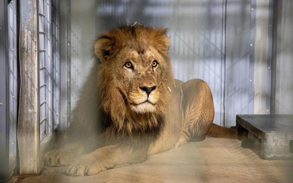 Volcan, un lion de l'Atlas qui s'installe au parc zoologique de Paris