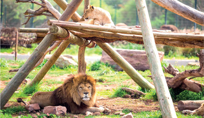 Lion de l'Atlas, une histoire fascinante et un triste destin