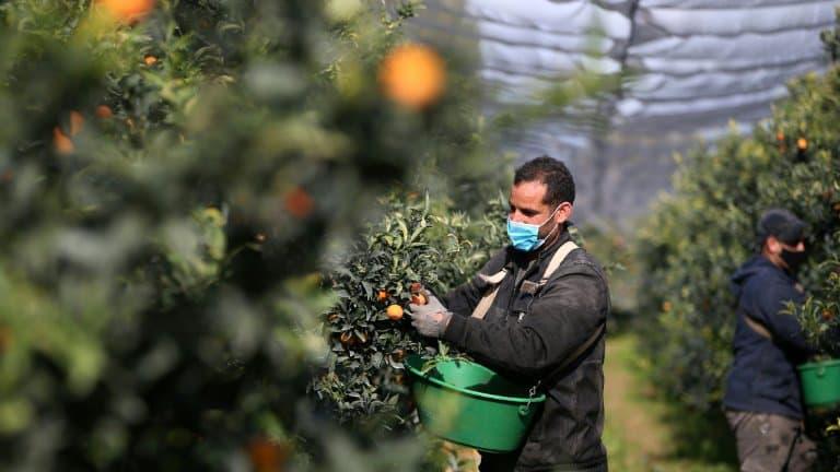 France: En Corse, la récolte des clémentines «sauvée» par les saisonniers marocains