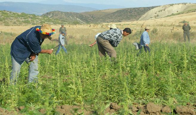 Légalisation du cannabis : Les enseignements du modèle israélien