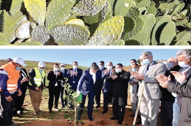 Doukkala : Résultats concluants dans la lutte contre  la cochenille ravageuse de cactus