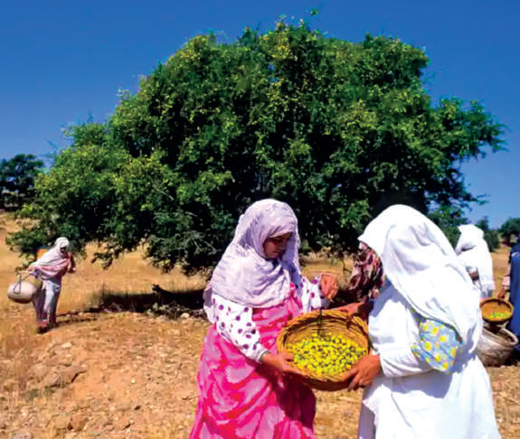 Nations Unies : L'Arganier du Maroc fait Roi des forêts