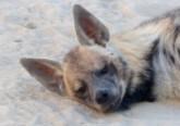Thema : Hyène du Maroc
