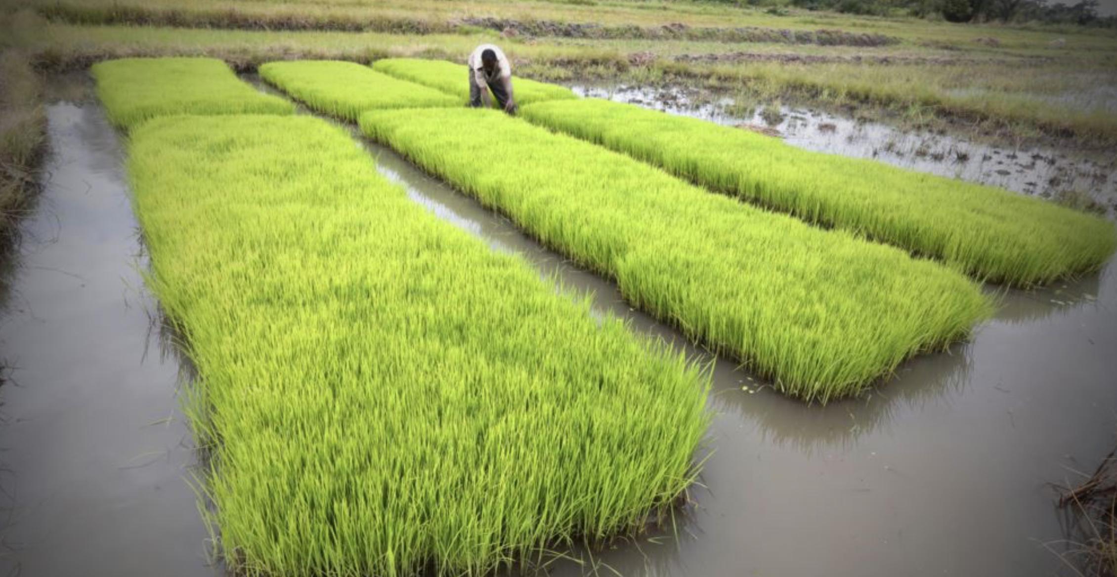 OCP Africa et la BID au chevet de la riziculture ivoirienne