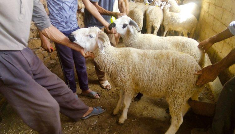 Aïd Al Adha : 5,8 millions de têtes d'ovins et caprins identifiées