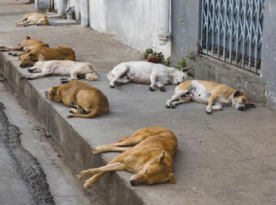 Les autorités de Dcheira massacrent des chiens errants