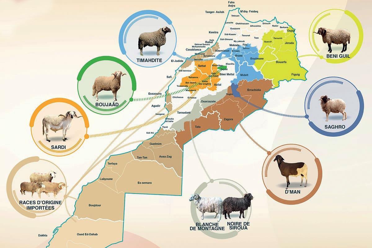 Aïd Al-Adha : Le Sardi, une race de mouton emblématique