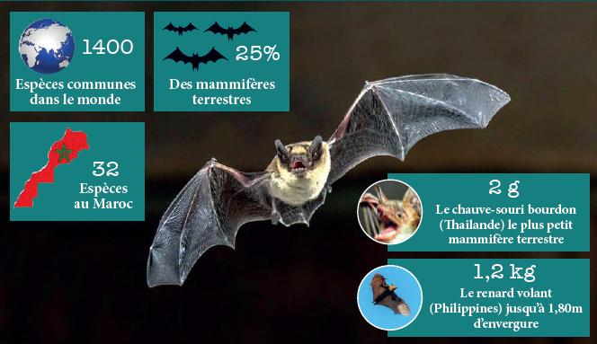 Nuit internationale de la chauve-souris : Secrets, bienfaits et périls d'une créature mystérieuse et mal-aimée