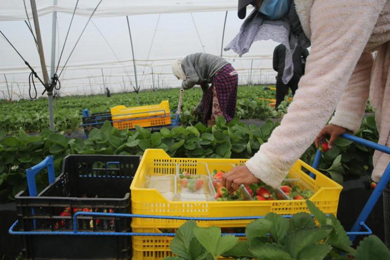 Saison agricole : 12 000 travailleuses marocaines arriveront en Espagne à partir de décembre