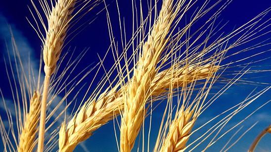 Marché des céréales : Suppression des droits d'importation sur le blé tendre ?
