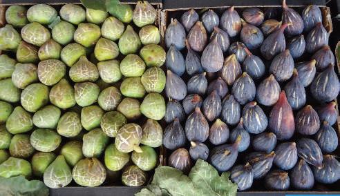 El Jadida-Ouled Frej : Culture du figuier ou quand qualité rime avec saveur